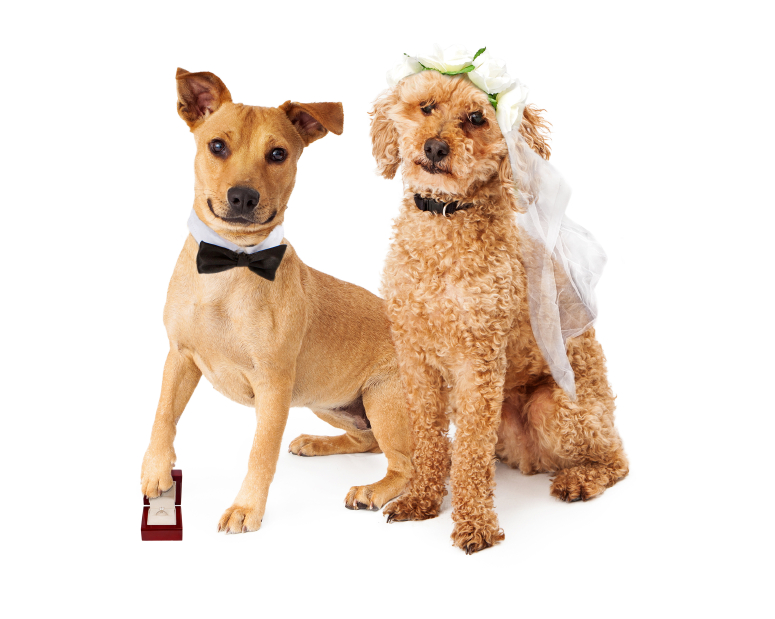 Two mixed breed dogs dressed as a bride and groom with a wedding ring