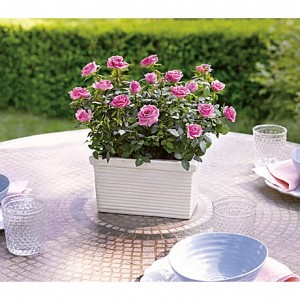 Pretty, hot pink roses are planted in a classic ceramic planter.