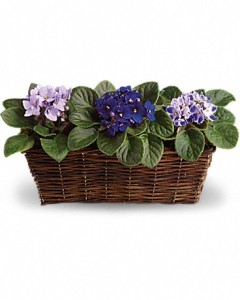 Violet plants in a wicker basket