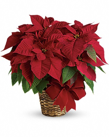 Shop red poinsettias