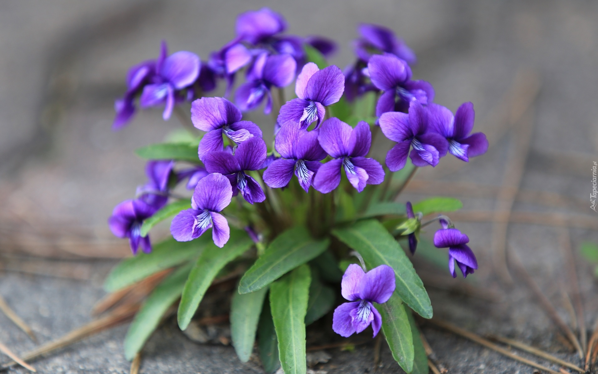 February Birth Flower The Violet