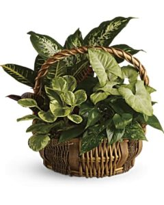 Green plants fill a wicker basket
