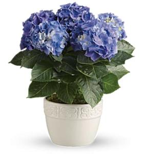 Blue hydrangeas in white pot